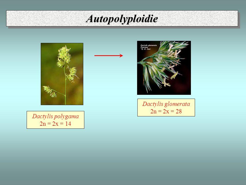 Autopolyploidie Dactylis glomerata 2n = 2x = 28 Dactylis polygama