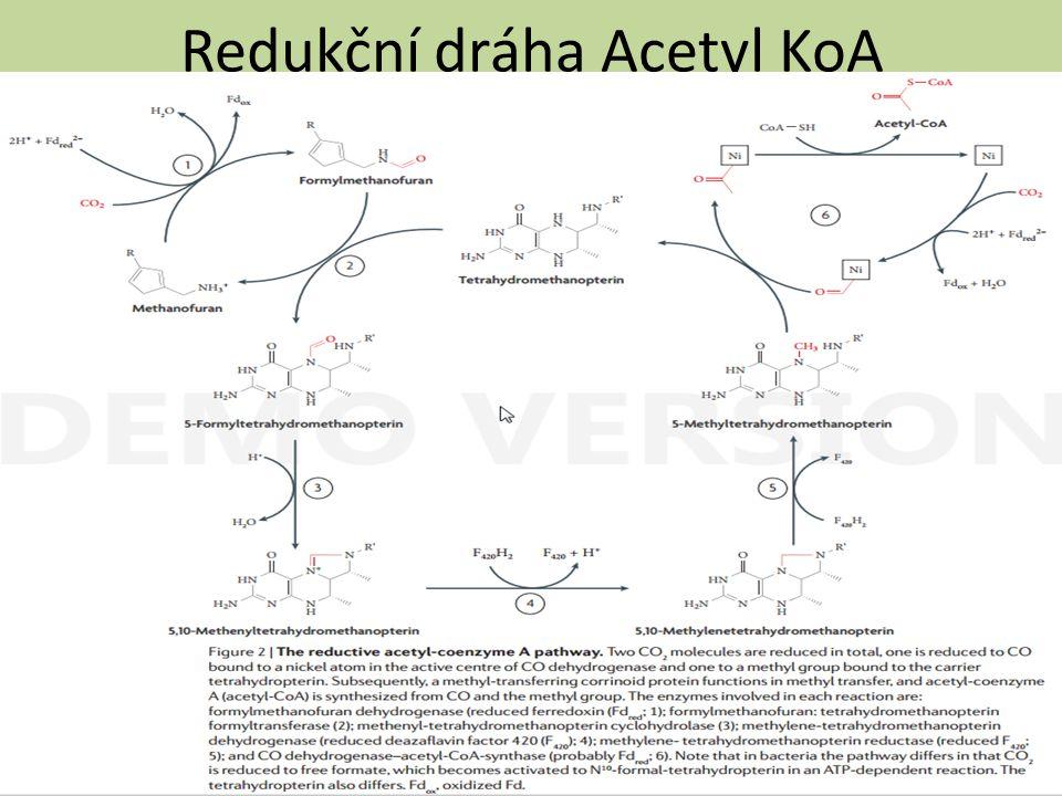 Redukční dráha Acetyl KoA