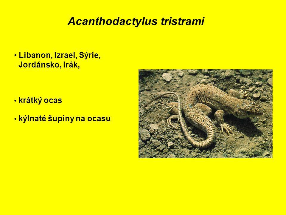 Acanthodactylus tristrami