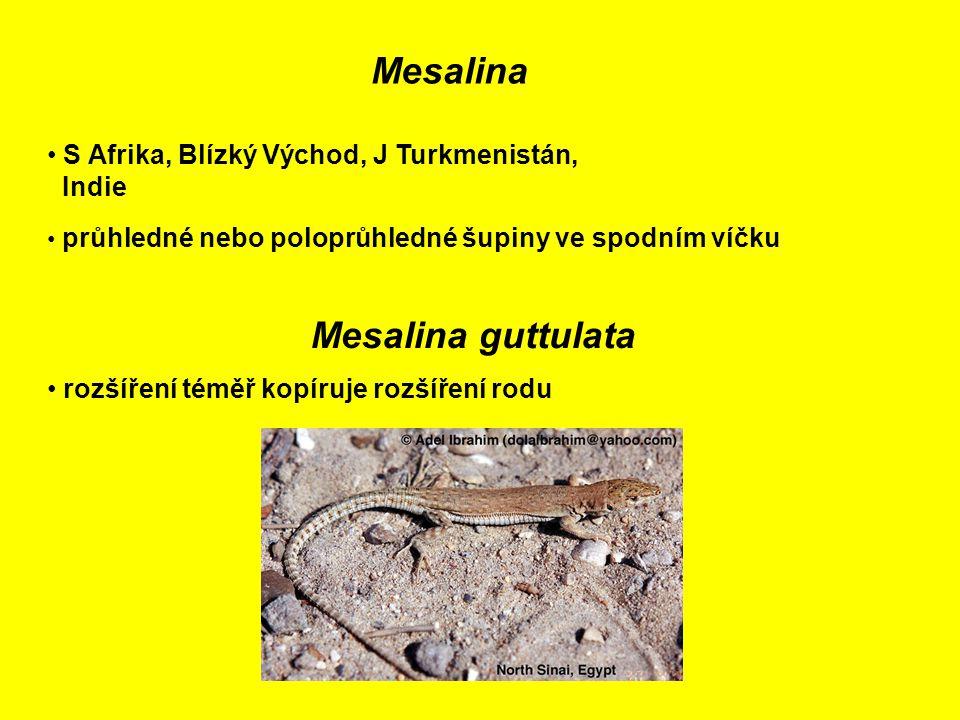 Mesalina Mesalina guttulata
