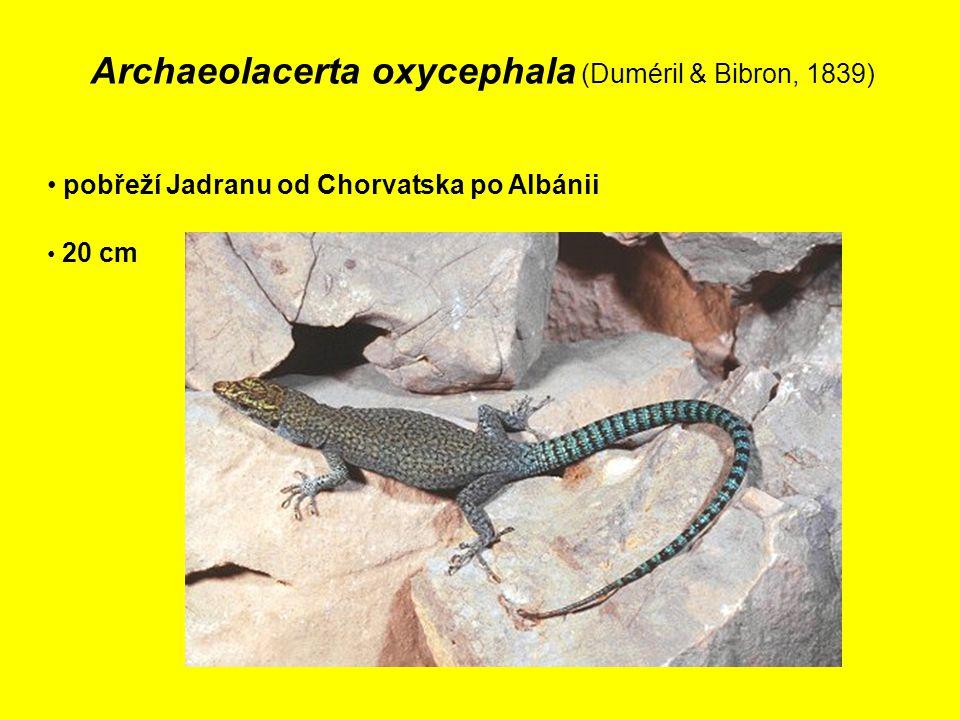 Archaeolacerta oxycephala (Duméril & Bibron, 1839)