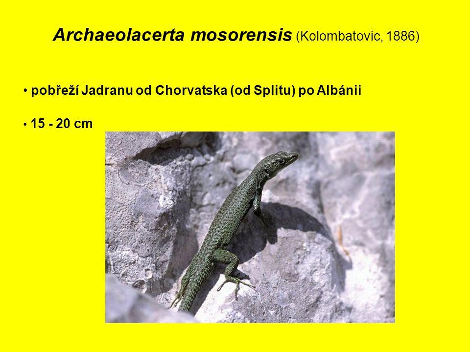 Archaeolacerta mosorensis (Kolombatovic, 1886)