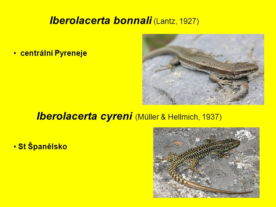 Iberolacerta bonnali (Lantz, 1927)