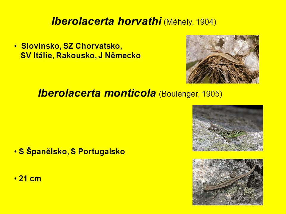 Iberolacerta horvathi (Méhely, 1904)