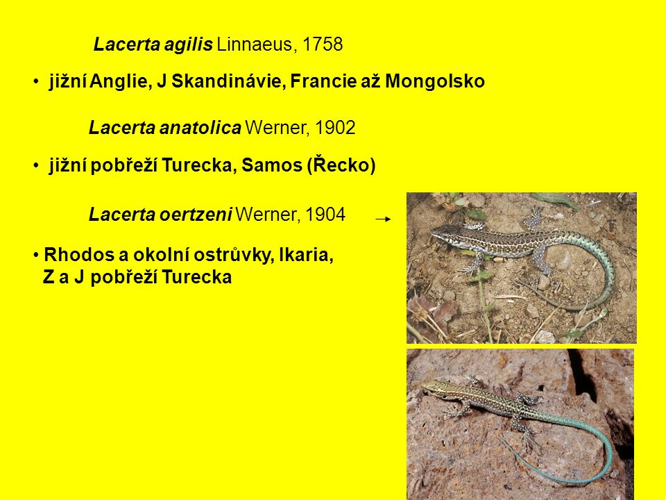 Lacerta agilis Linnaeus, 1758