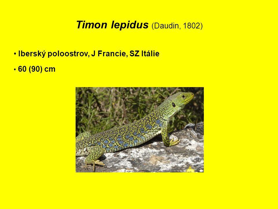 Timon lepidus (Daudin, 1802)