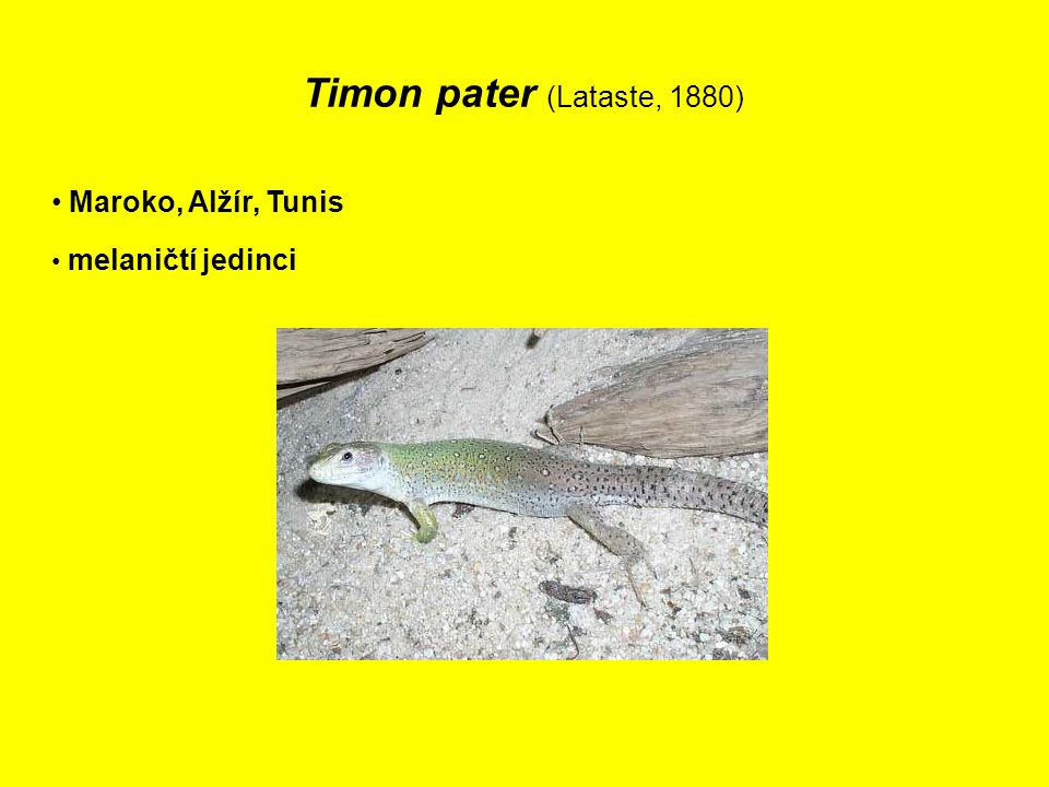 Timon pater (Lataste, 1880) Maroko, Alžír, Tunis melaničtí jedinci