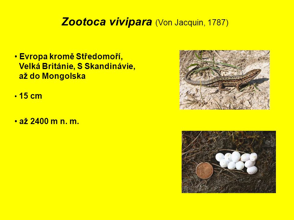 Zootoca vivipara (Von Jacquin, 1787)