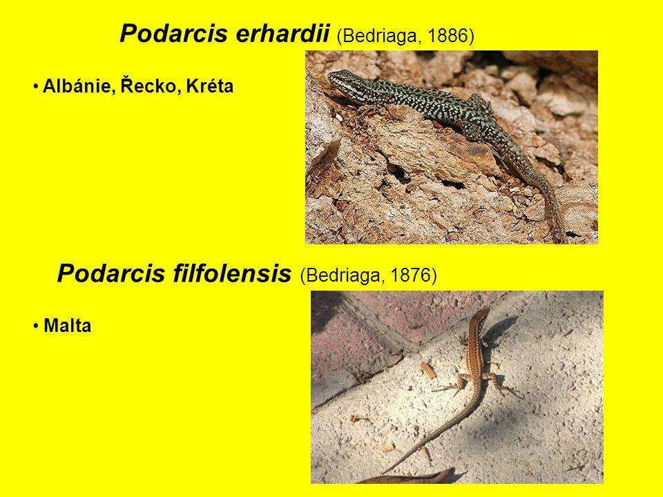 Podarcis erhardii (Bedriaga, 1886)