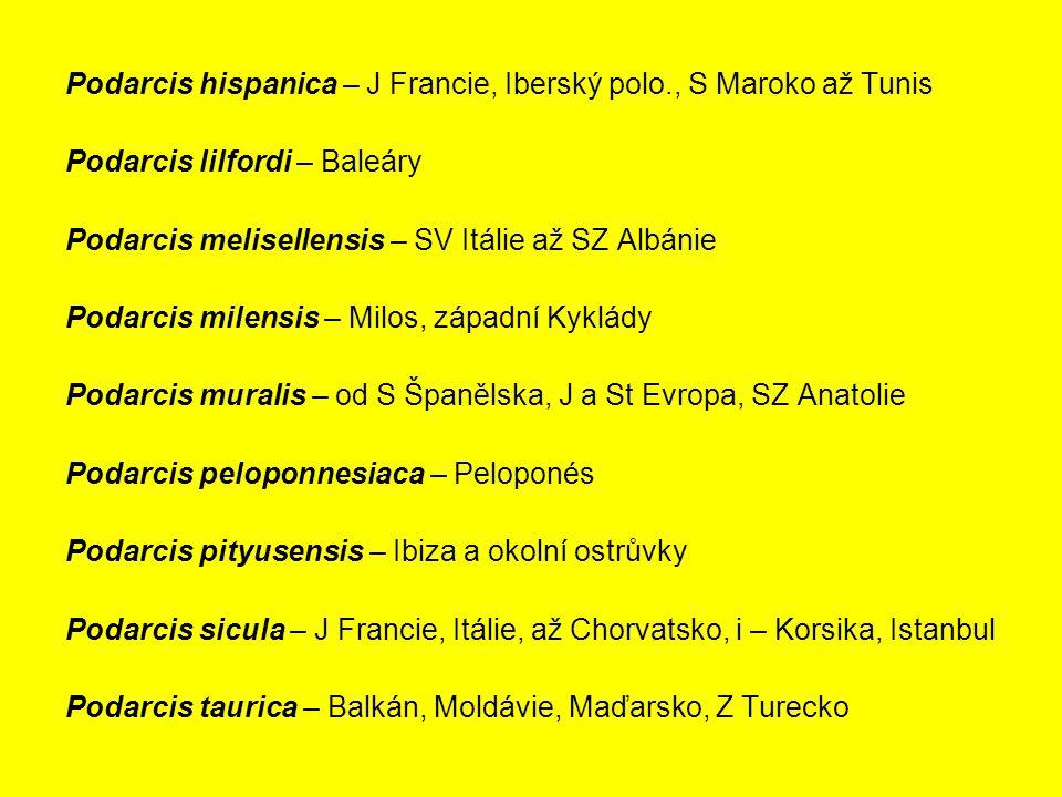 Podarcis hispanica – J Francie, Iberský polo., S Maroko až Tunis