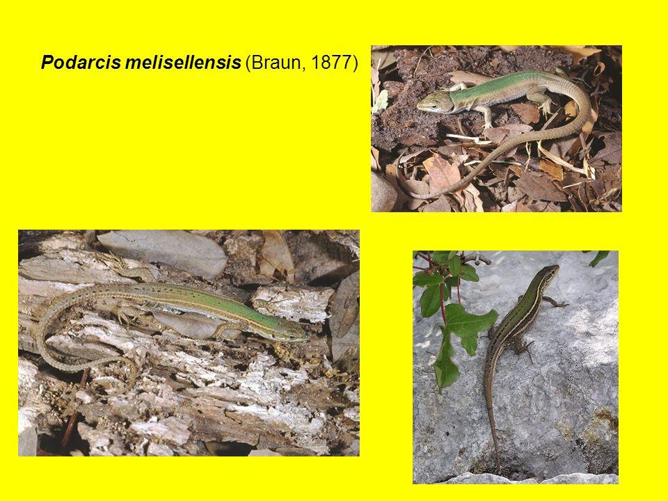 Podarcis melisellensis (Braun, 1877)