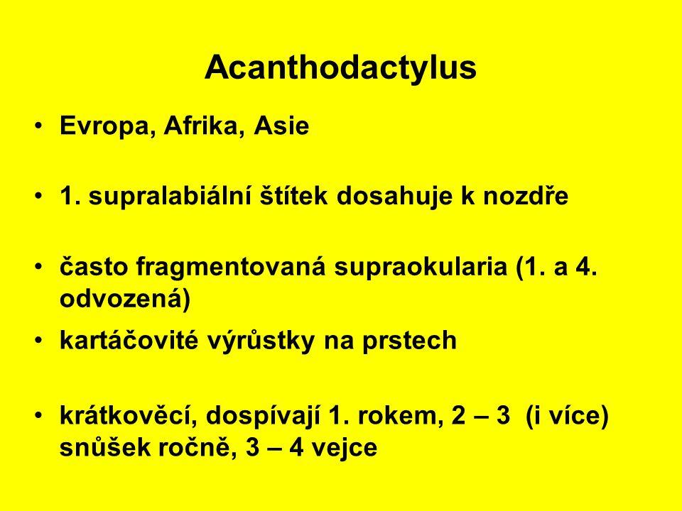Acanthodactylus Evropa, Afrika, Asie
