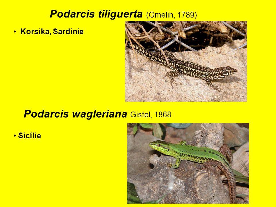 Podarcis tiliguerta (Gmelin, 1789)