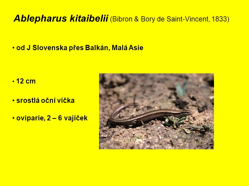 Ablepharus kitaibelii (Bibron & Bory de Saint-Vincent, 1833)