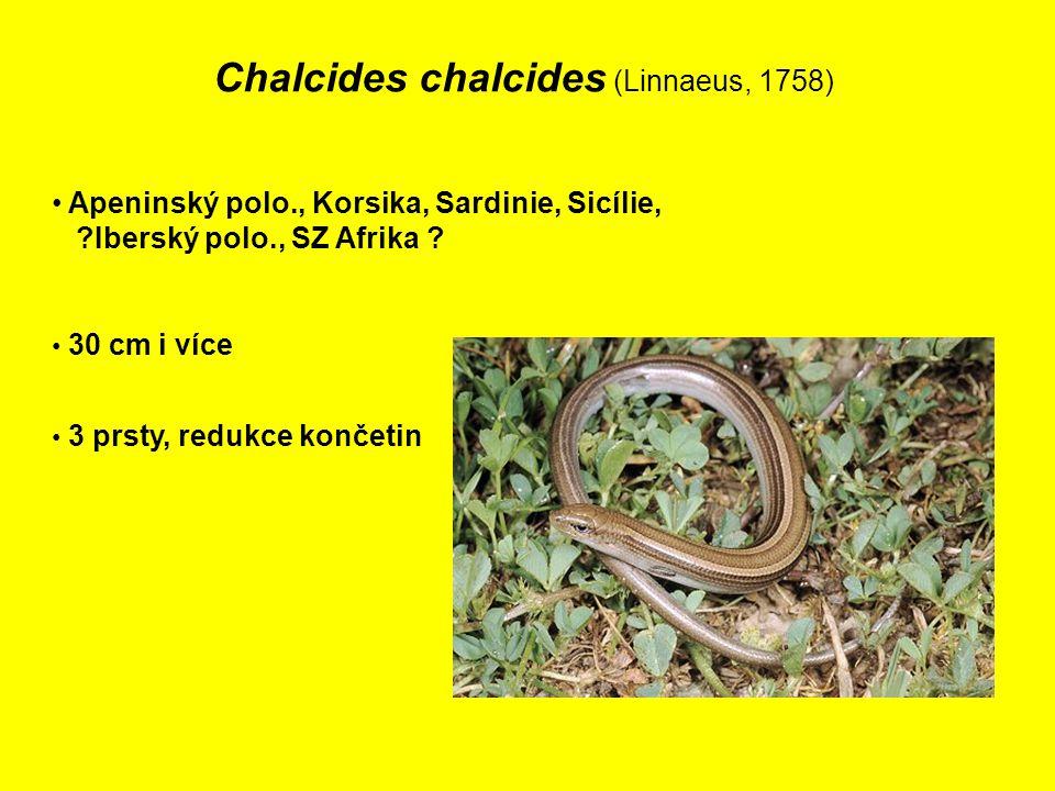 Chalcides chalcides (Linnaeus, 1758)