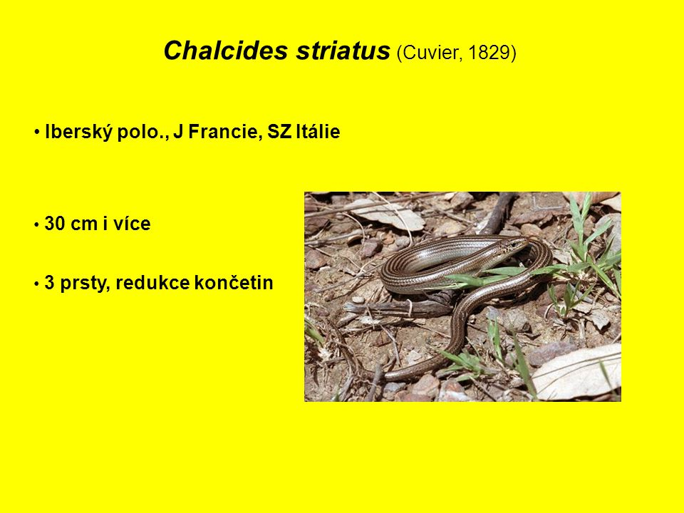 Chalcides striatus (Cuvier, 1829)