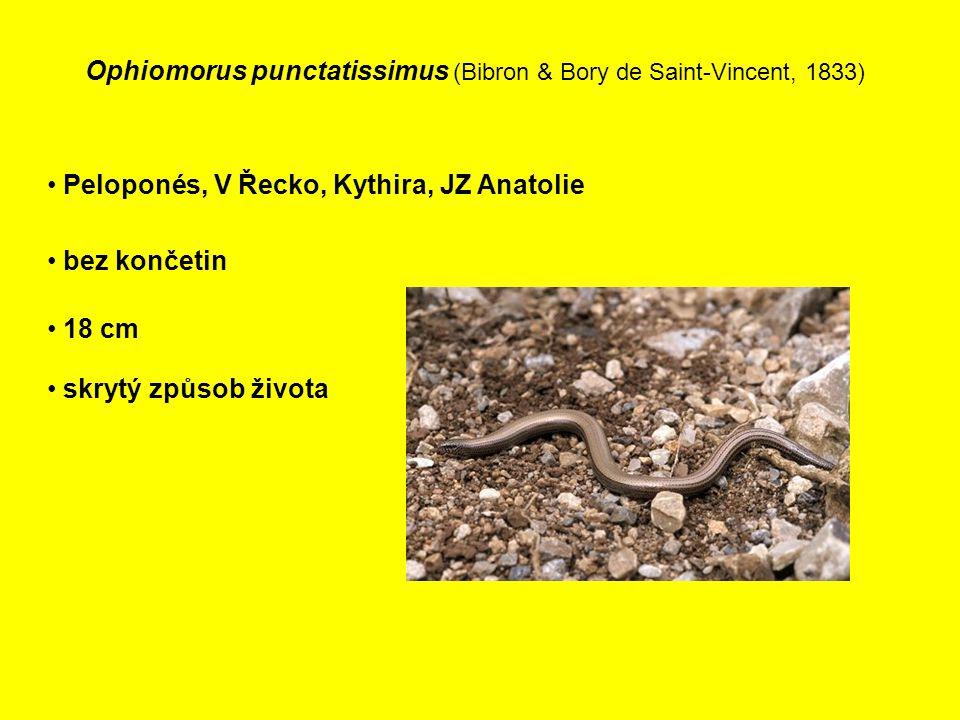 Ophiomorus punctatissimus (Bibron & Bory de Saint-Vincent, 1833)