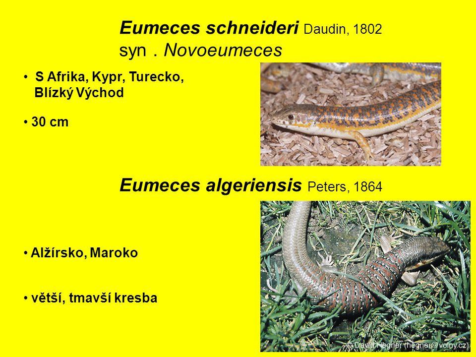 Eumeces schneideri Daudin, 1802 syn . Novoeumeces