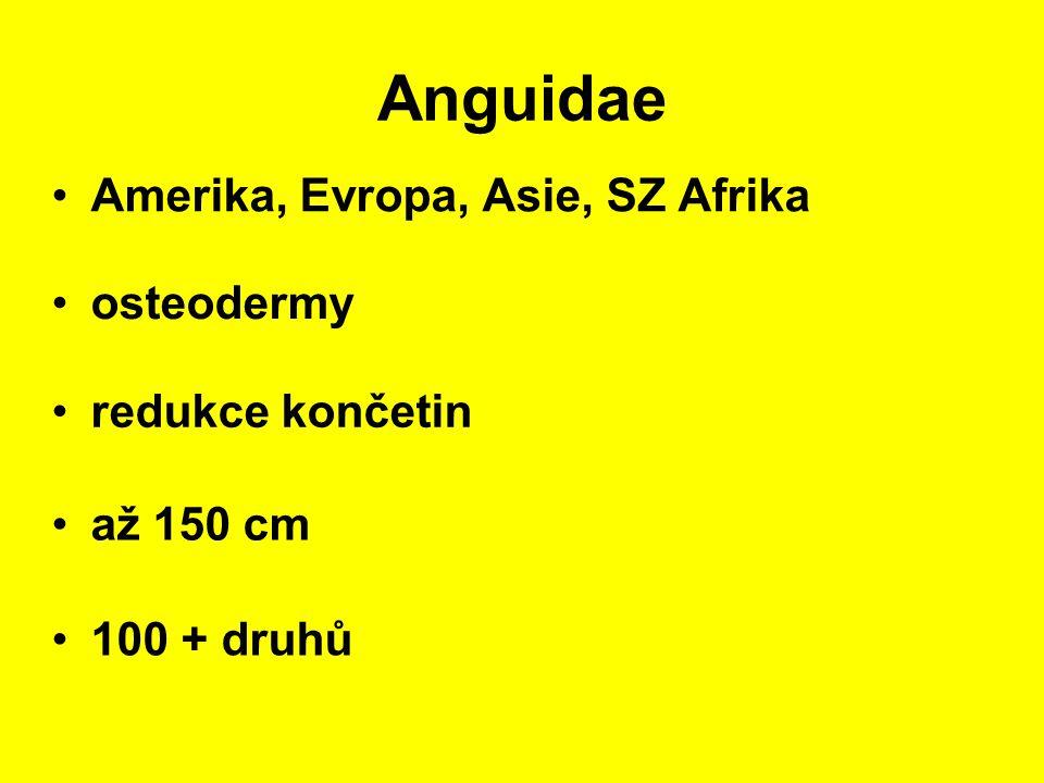 Anguidae Amerika, Evropa, Asie, SZ Afrika osteodermy redukce končetin