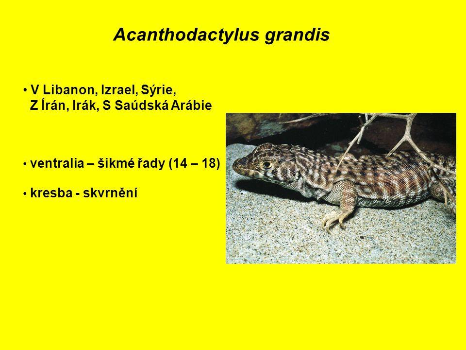 Acanthodactylus grandis