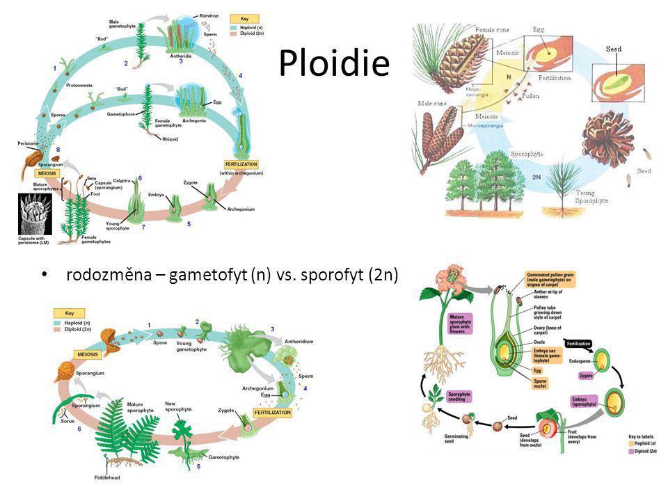 Ploidie rodozměna – gametofyt (n) vs. sporofyt (2n)