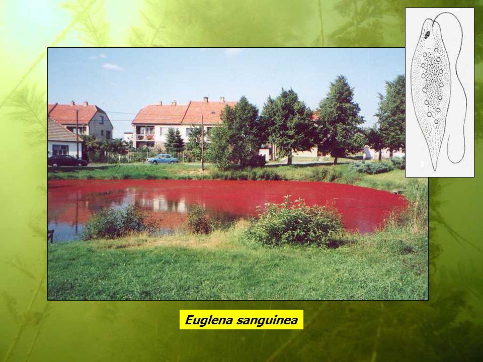 Euglena sanguinea