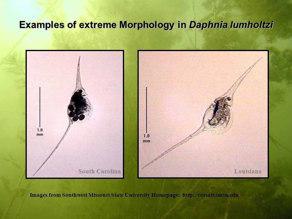 Examples of extreme Morphology in Daphnia lumholtzi