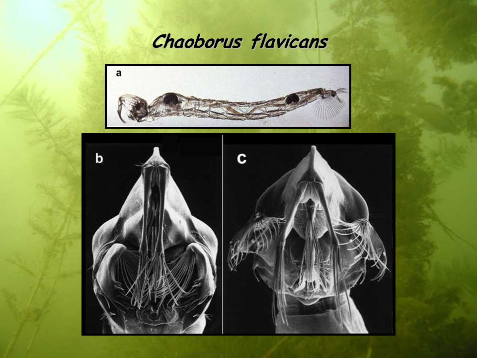 Chaoborus flavicans