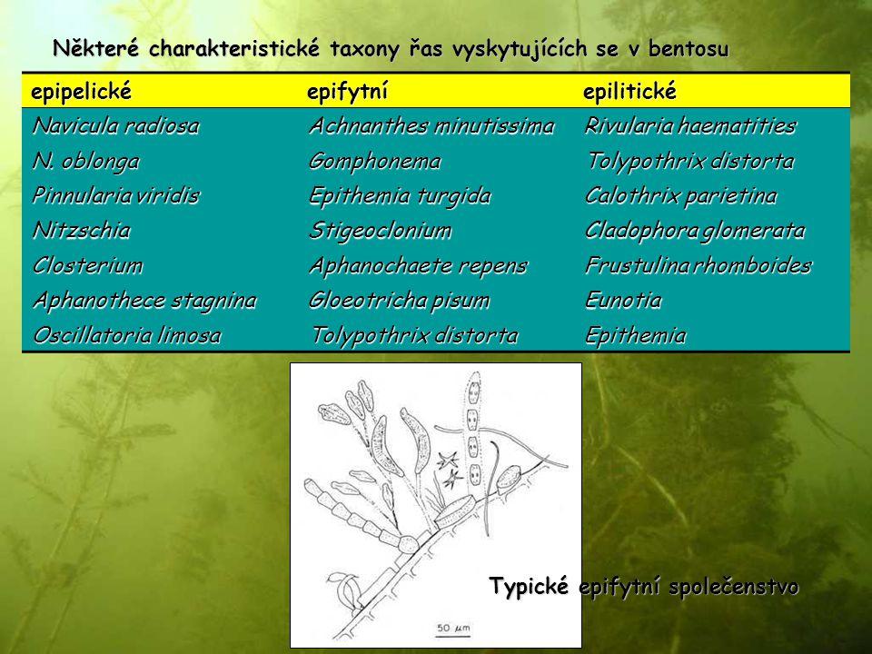 Některé charakteristické taxony řas vyskytujících se v bentosu