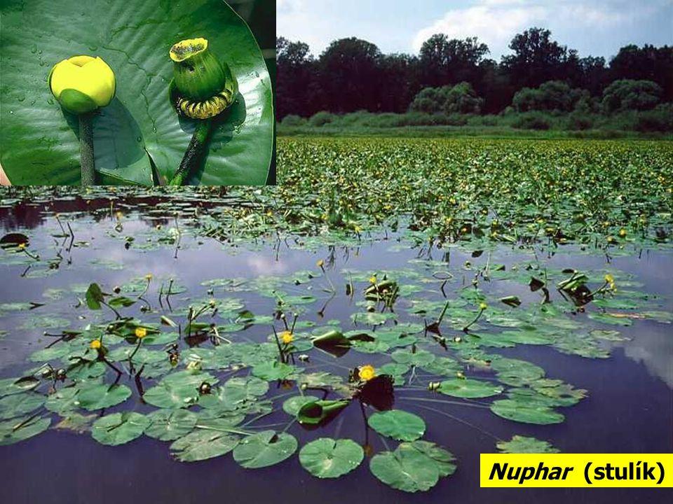 Nuphar (stulík)
