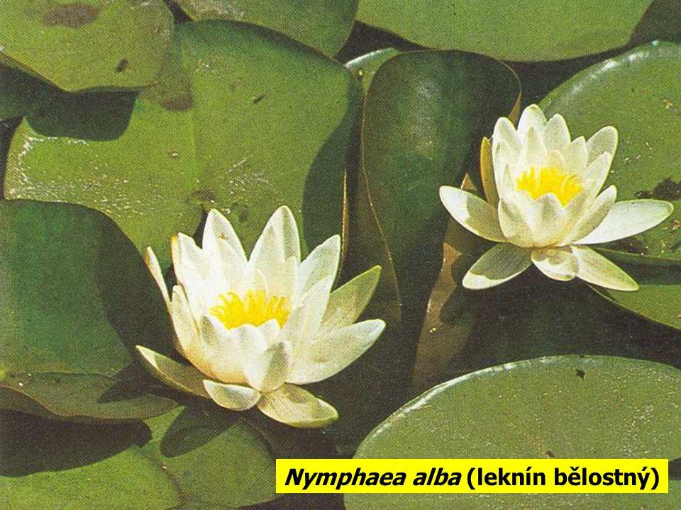 Nymphaea alba (leknín bělostný)