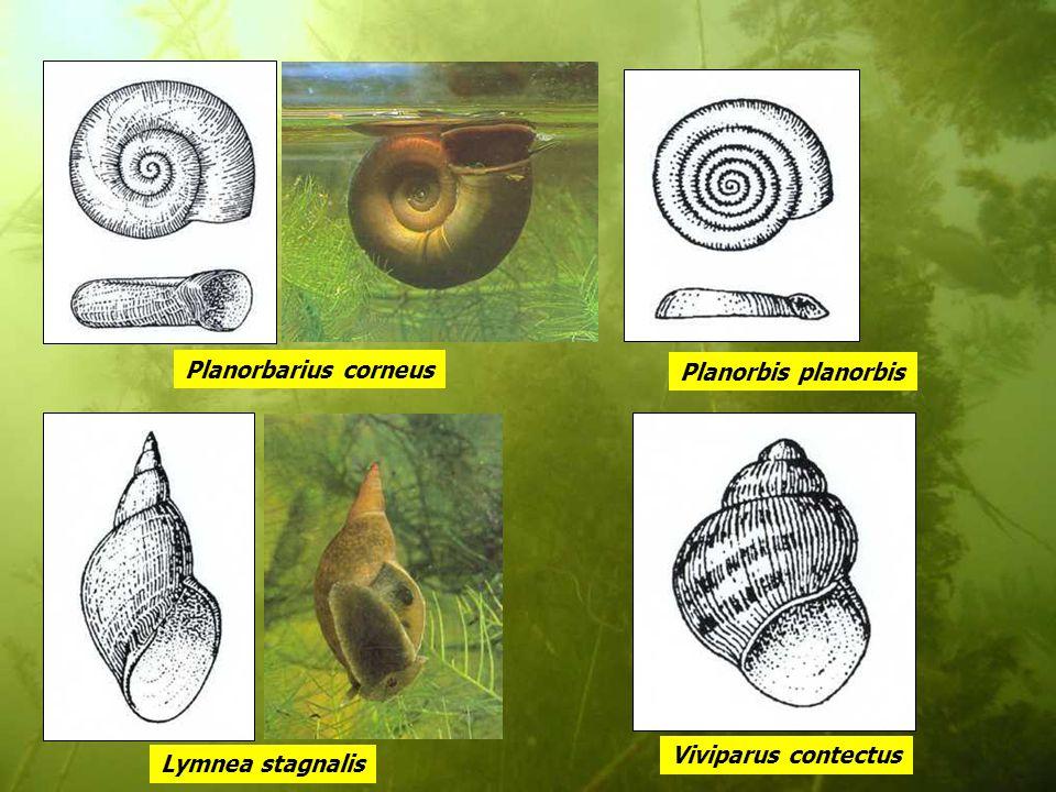 Planorbarius corneus Planorbis planorbis Viviparus contectus Lymnea stagnalis