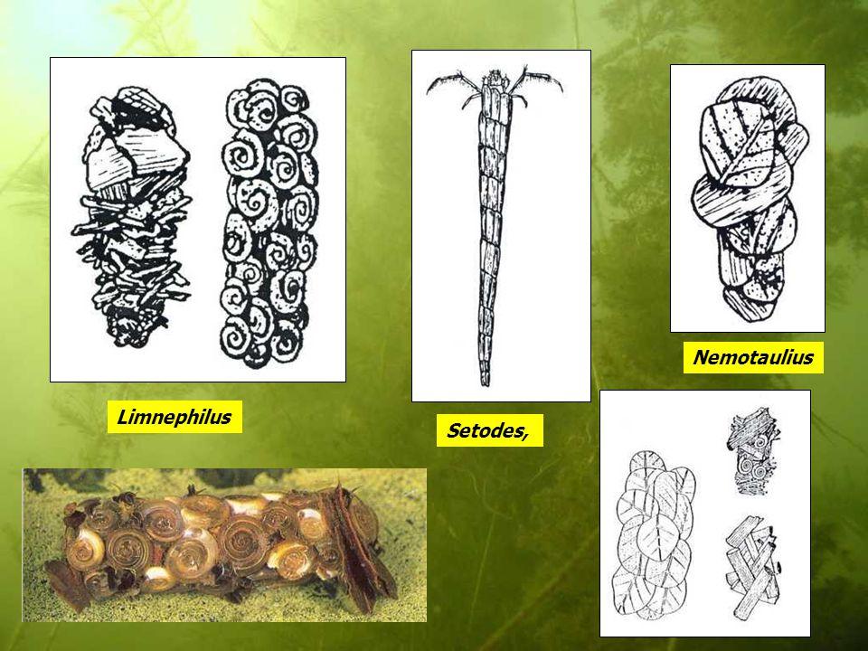Nemotaulius Limnephilus Setodes,