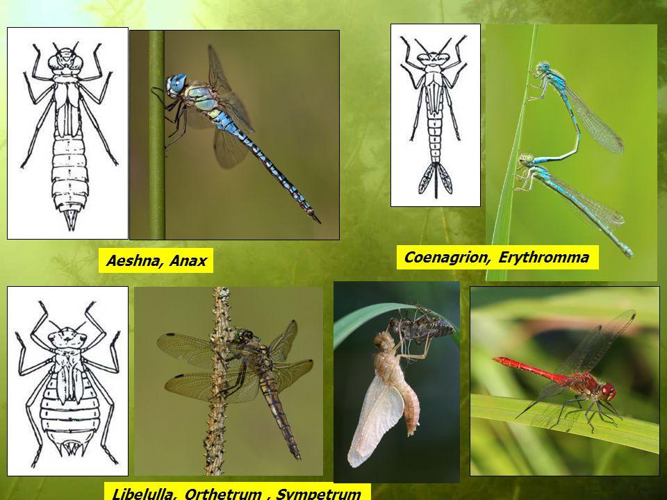 Aeshna, Anax Coenagrion, Erythromma Libelulla, Orthetrum , Sympetrum