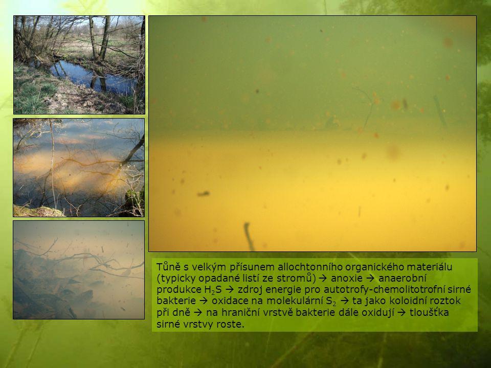 Tůně s velkým přísunem allochtonního organického materiálu (typicky opadané listí ze stromů)  anoxie  anaerobní produkce H2S  zdroj energie pro autotrofy-chemolitotrofní sirné bakterie  oxidace na molekulární S2  ta jako koloidní roztok při dně  na hraniční vrstvě bakterie dále oxidují  tloušťka sirné vrstvy roste.