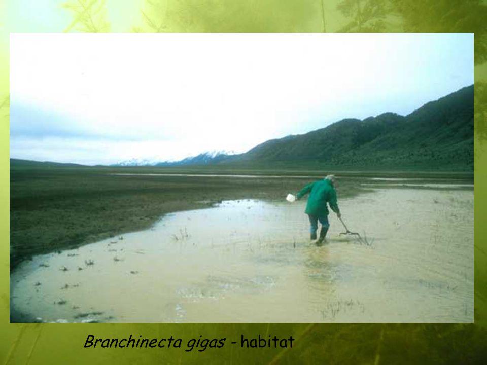 Branchinecta gigas - habitat