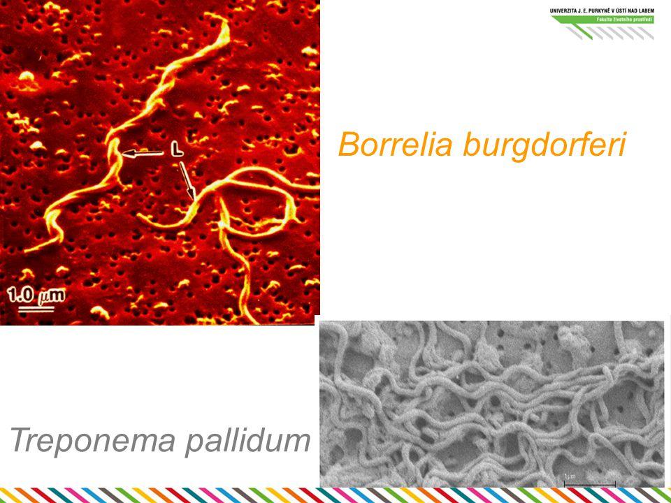 Borrelia burgdorferi Treponema pallidum