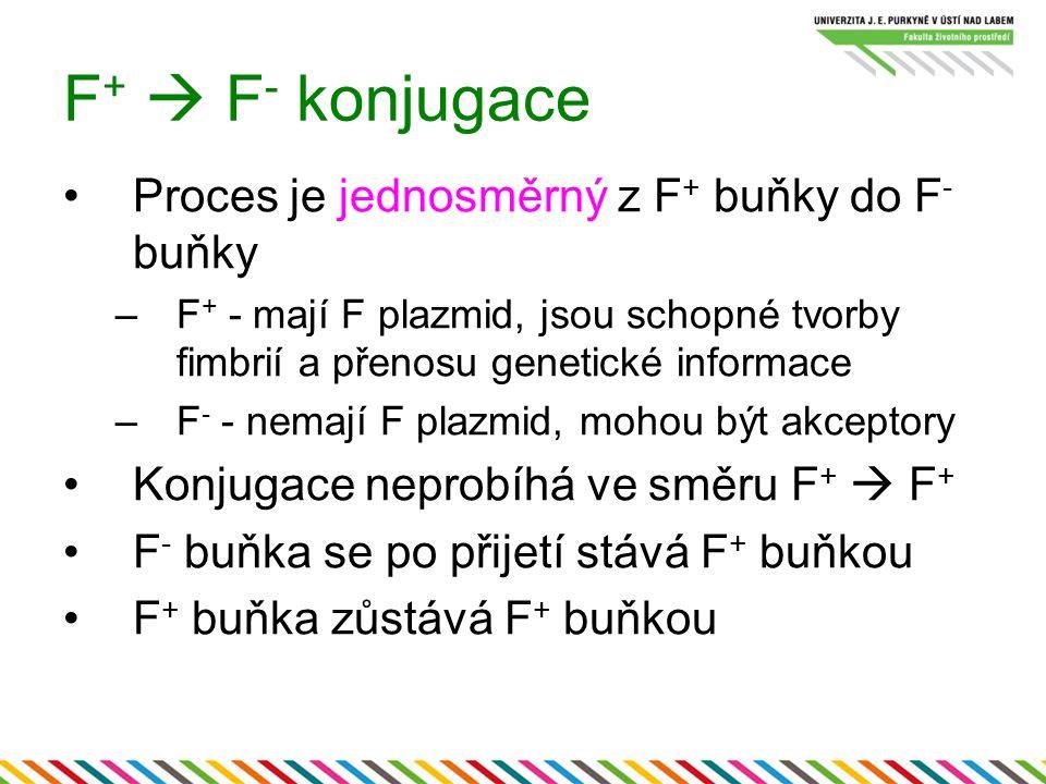 F+  F- konjugace Proces je jednosměrný z F+ buňky do F- buňky