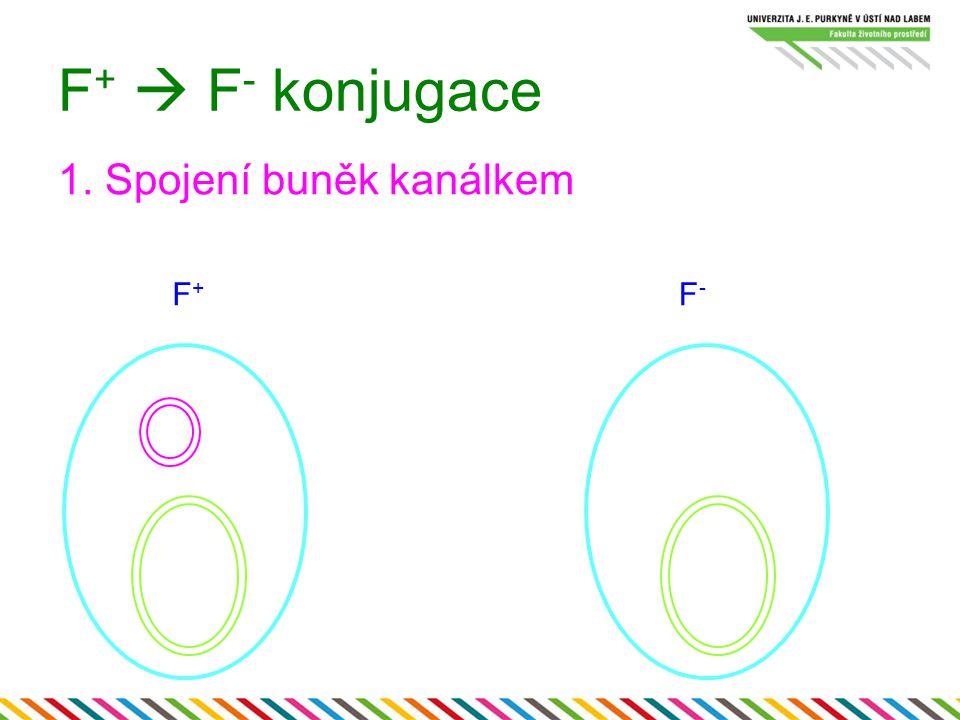 F+  F- konjugace 1. Spojení buněk kanálkem F+ F-