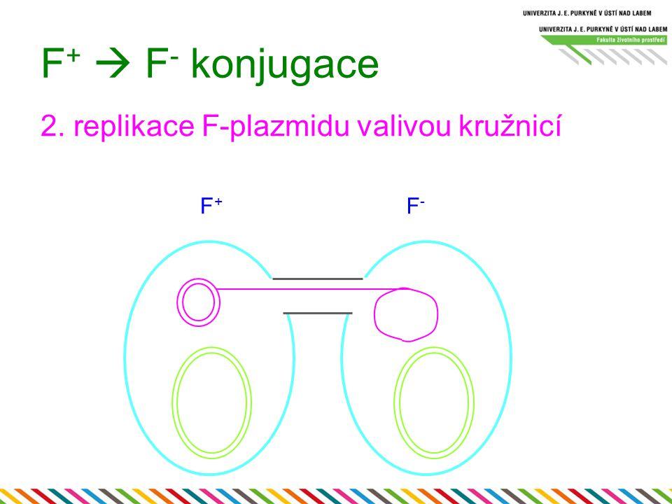 F+  F- konjugace 2. replikace F-plazmidu valivou kružnicí F+ F-