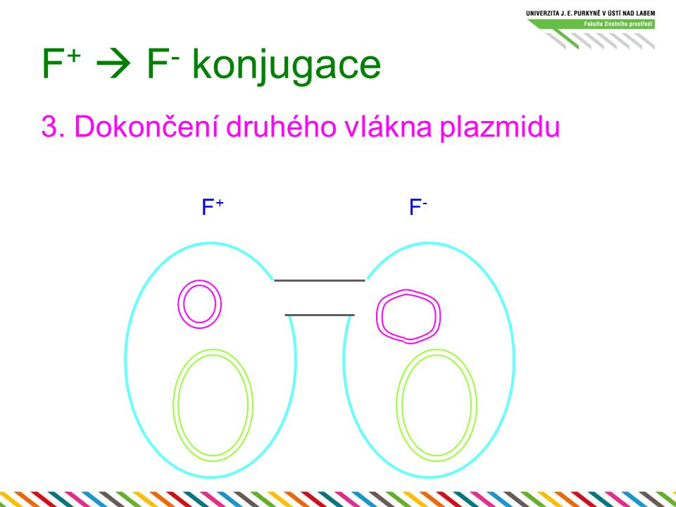 F+  F- konjugace 3. Dokončení druhého vlákna plazmidu F+ F-