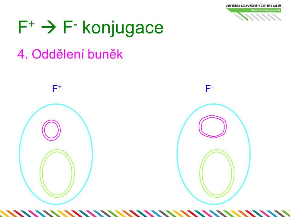 F+  F- konjugace 4. Oddělení buněk F+ F-