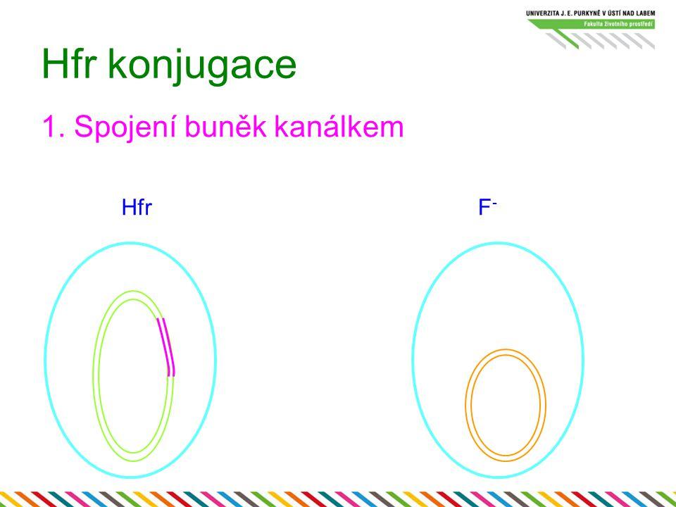 Hfr konjugace 1. Spojení buněk kanálkem Hfr F-