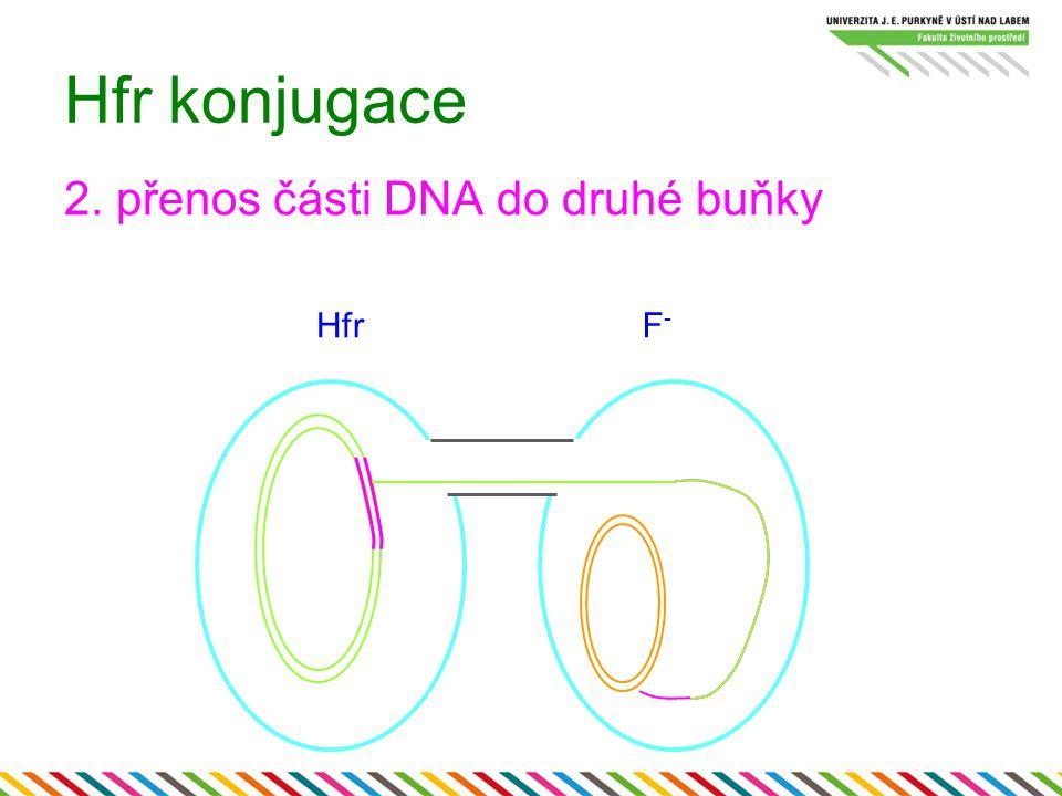 Hfr konjugace 2. přenos části DNA do druhé buňky Hfr F-
