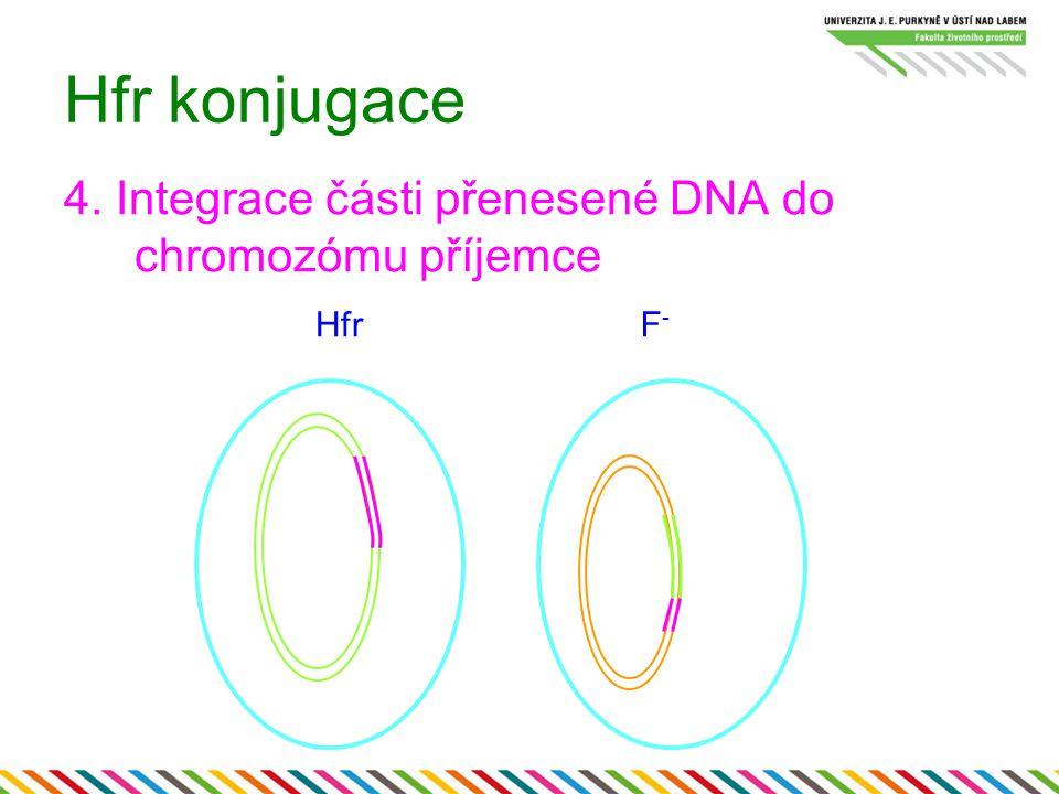 Hfr konjugace 4. Integrace části přenesené DNA do chromozómu příjemce