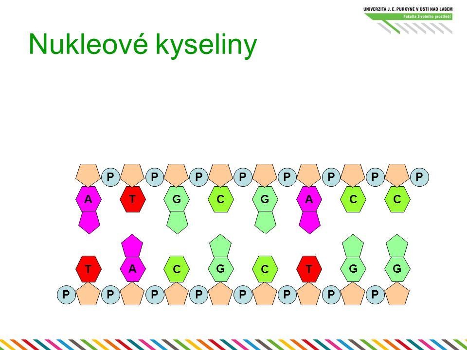 Nukleové kyseliny P P P P P P P P A T G C G A C C A G G G T C C T P P