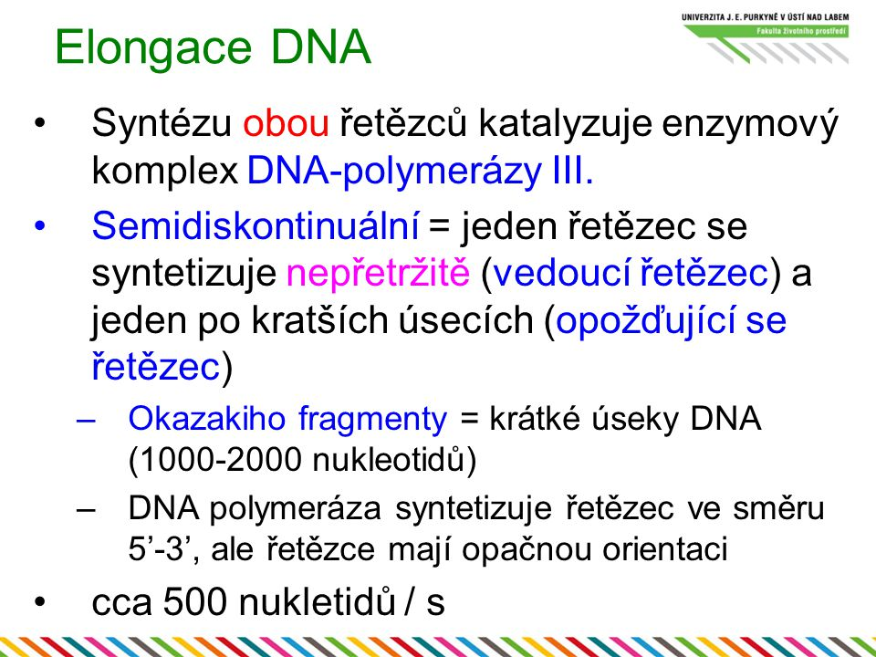 Elongace DNA Syntézu obou řetězců katalyzuje enzymový komplex DNA-polymerázy III.