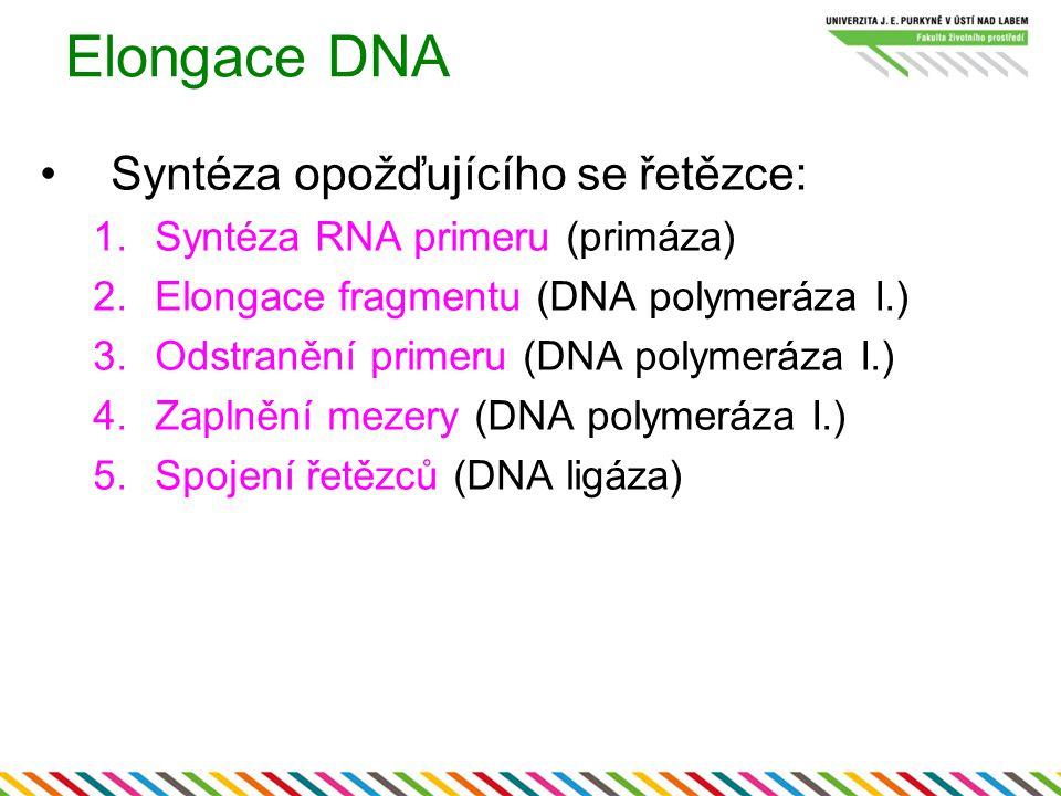 Elongace DNA Syntéza opožďujícího se řetězce: