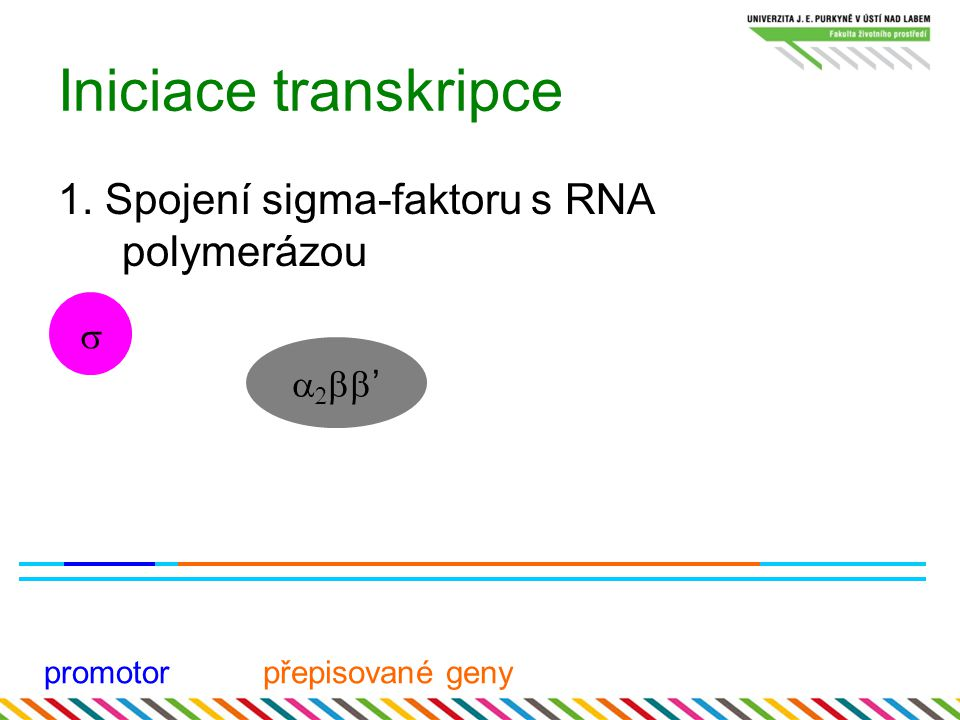 Iniciace transkripce 1. Spojení sigma-faktoru s RNA polymerázou s