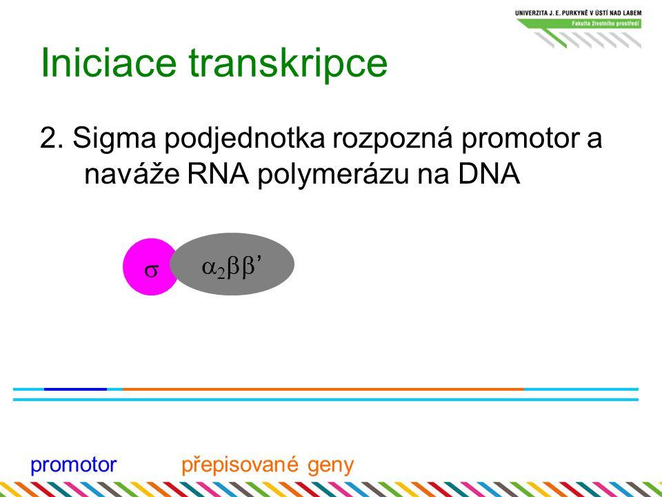 Iniciace transkripce 2. Sigma podjednotka rozpozná promotor a naváže RNA polymerázu na DNA. s. a2bb'